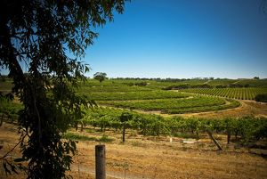 Vineyard at McLaren Vale, South Australia