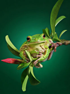 A White Lipped frog perching on the edge of a branch of Adenium plant
