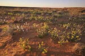 Wildflowers on a Red Sand Dune in the Simpson Desert, South Australia, Australia