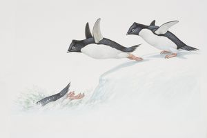 Adelie Penguin (Pygoscelis adelia), illustration of three penguim diving from ice