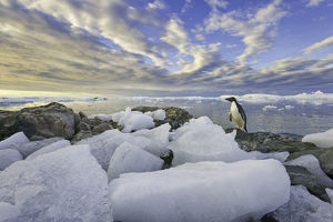 Adelie penguins, Holtedehl Bay, Antarctic Pen.