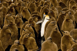 comedy wildlife photography collection/adult king penguin aptenodytes patagonicus colony