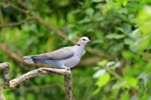 African Collared Dove -Streptopelia roseogrisea-, adult on tree, native to North Africa