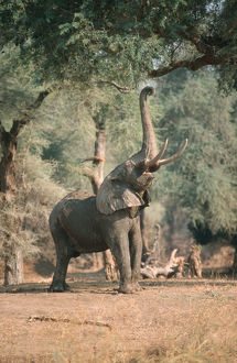 African Elephant (Loxodonta african) stretching for low branch, Mana Pools, Zimbabwe