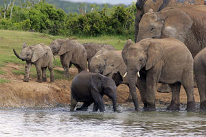 African Elephants -Loxodonta africana-, herd with young at a waterhole, Addo Elephant National Park