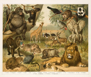 African fauna lithograph 1896
