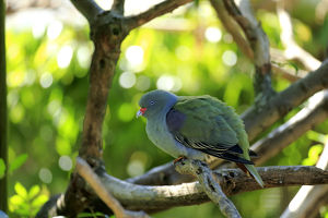 African Green Pigeon -Treron calva-, adult on tree, captive