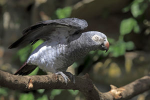 African Grey Parrot -Psittacus erithacus- sitting on a tree and spreading its wings