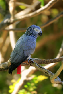 African Grey Parrot -Psittacus erithacus timneh-, adult on tree, native to Central Africa