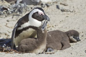 African penguin or Black-footed penguin -Spheniscus demersus- with chicks, at the Boulders Colony