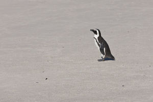 African penguin or Black-footed penguin -Spheniscus demersus- at the Boulders Colony