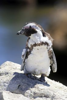 African Penguin or Jackass Penguin -Spheniscus demersus-, adult on rock, moulting
