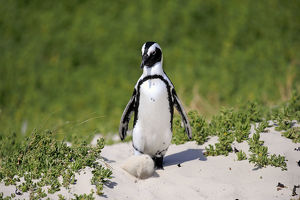 African Penguin or Jackass Penguin -Spheniscus demersus-, adult in the breeding area