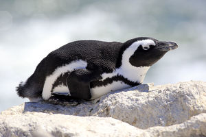 African Penguin -Spheniscus demersus-, adult resting on rock, Bettys Bay, Western Cape