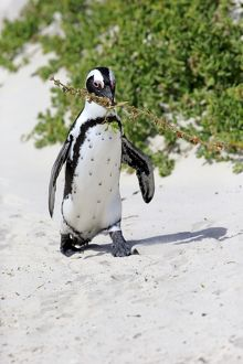 African Penguin -Spheniscus demersus-, adult, running on the beach, Boulders Beach