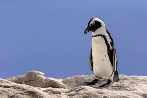 African Penguin -Spheniscus demersus-, adult on rock, Boulders Beach, Simons Town