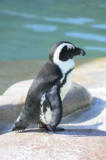 African Penguin -Spheniscus demersus-, captive, Germany