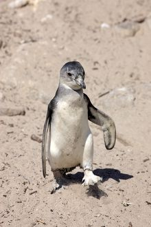 African Penguin -Spheniscus demersus-, young bird, Bettys Bay, Western Cape, South Africa