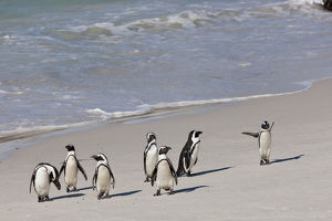 African penguins or Black-footed penguins -Spheniscus demersus- at the Boulders Colony
