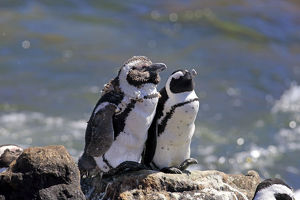 African Penguins or Jackass Penguins -Spheniscus demersus-, pair on rocks, Bettys Bay