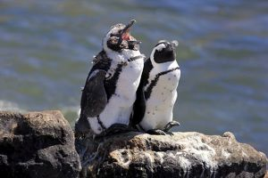 African Penguins or Jackass Penguins -Spheniscus demersus-, pair on rocks, yawning
