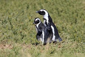 African Penguins or Jackass Penguins -Spheniscus demersus-, pair, Boulders Beach