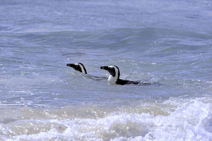 African Penguins or Jackass Penguins -Spheniscus demersus-, pair in the water, Boulders Beach