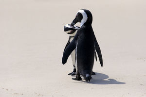 African Penguins or Jackass Penguins -Spheniscus demersus-, pair on the beach, Boulders Beach