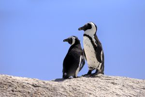African Penguins -Spheniscus demersus-, pair on rocks, Boulders Beach, Simons Town