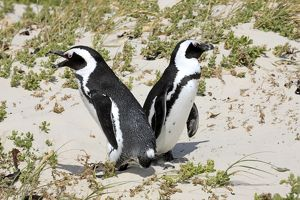 African Penguins -Spheniscus demersus-, pair at their breeding ground, Boulders Beach