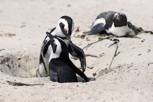 African Penguins -Spheniscus demersus-, pair at nest hole, Boulders Beach, Simons Town