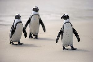 African Penguins -Spheniscus demersus- on the beach, Boulders Beach, Simons Town