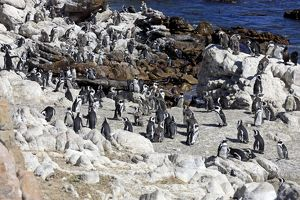African Penguins -Spheniscus demersus-, colony, Bettys Bay, Western Cape, South Africa