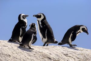 African Penguins -Spheniscus demersus- on rocks, Boulders Beach, Simons Town, Western Cape