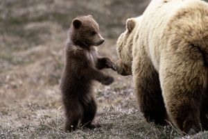 BROWN (GRIZZLY) BEAR MOTHER AND CUB
