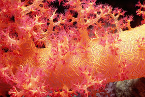 Alcynarian soft coral (Alcynaria sp.) polyps feeding on plankton