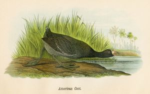 American coot bird lithograph 1890