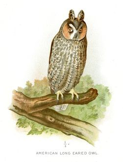 American long eared owl lithograph 1897
