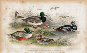 Ducks antique lithograph print from 1852