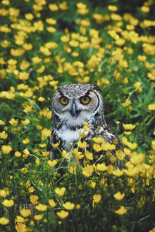 Owl in field of buttercup flowers