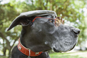 Side view of Great Dane with sunglasses