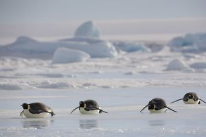 Antarctica, Snow Hill Island, emperor penguins lying on ice