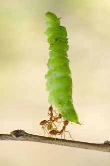 Three ants carrying a caterpillar, Indonesia