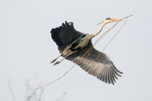 wilfried martin nature photography/approaching grey heron ardea cinerea nesting
