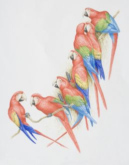 Ara chloroptera and ara macao, Green-winged and Scarlet Macaws perched on a tree branch.