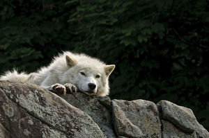 Arctic Wolf Lying On Rock