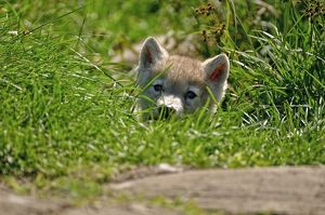 Arctic wolf pup in grass