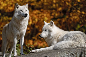 Arctic Wolves On Rock