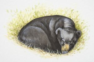 Asian Black Bear (Ursus thibetanus) lying curled up in grass