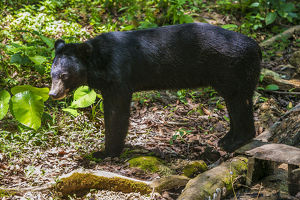 Asiatic Black Bears in Luang Prabang